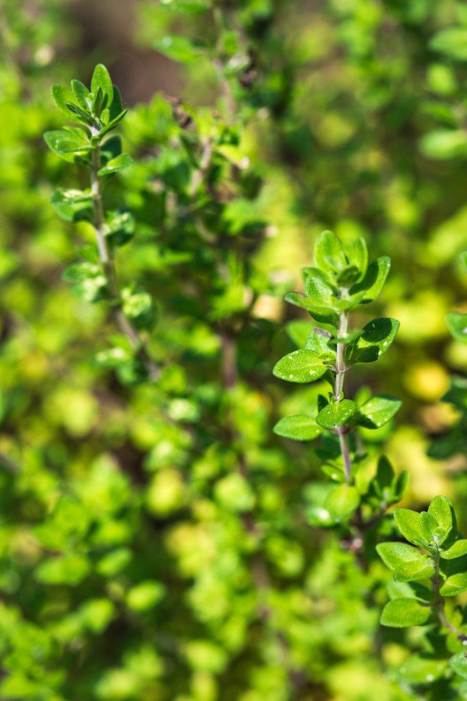 DEtail van een plantje citroentijm, tijm met citroensmaak en aroma